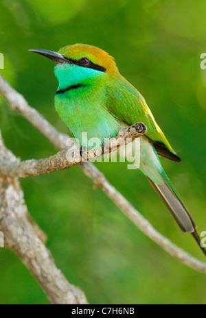 Little Green Bee-eater (merops orientalis) in Yala West National Park, Sri Lanka Stock Photo