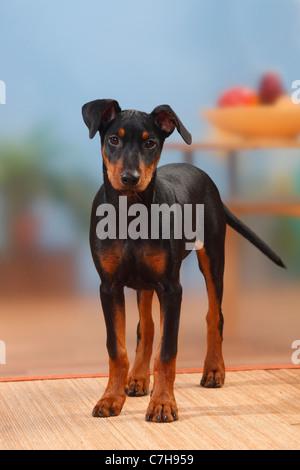 German Pinscher, puppy, 17 weeks - Stock Photo