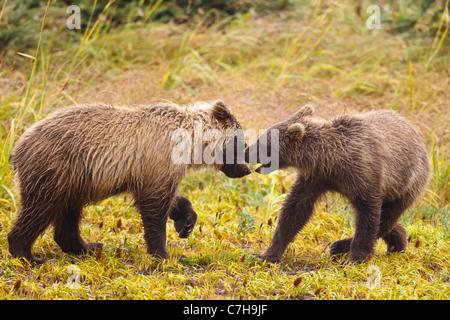 North American brown bear (Ursus arctos horribilis) cubs playing in a field, Lake Clark National Park, Alaska, United - Stock Photo