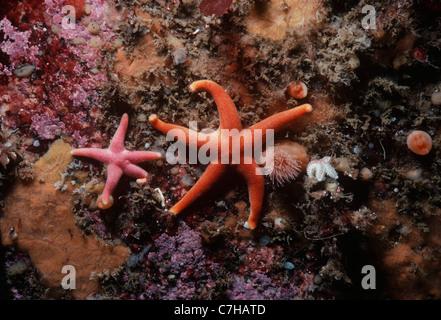 Blood Stars (Henricia sanguinolenta) scavenging on substrate. New England (USA), North Atlantic Ocean - Stock Photo