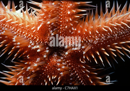 Underside of Comb Star (Astropecten polycanthus) showing its mouth. Egypt, Red Sea - Stock Photo