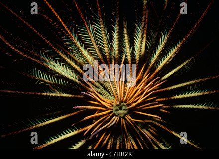 Base-attached arms of Crinoid or Feather Star (Lamprometra klunzingeri) open and feeding on plankton at night. Sipadan - Stock Photo