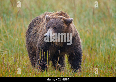 North American brown bear (Ursus arctos horribilis) sow stands in field, Lake Clark National Park, Alaska, United - Stock Photo
