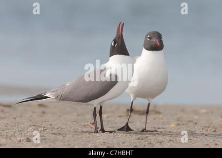 Laughing Gulls (Larus atricilla) courting behavior - Stock Photo