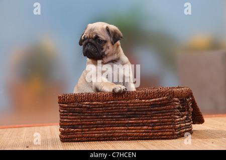 Pug, puppy, 8 weeks - Stock Photo