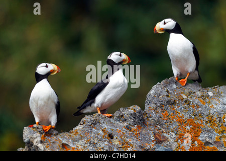Horned Puffin (Fratercula corniculata) sits on rock, Alaska Maritime National Wildlife Refuge, Alaska, United States - Stock Photo