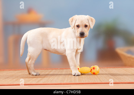 Labrador Retriever, puppy, 9 weeks / toy, side - Stock Photo