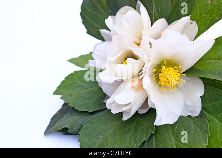 Hellebore white spring flower known as Christmas rose and Lenten rose - Stock Photo
