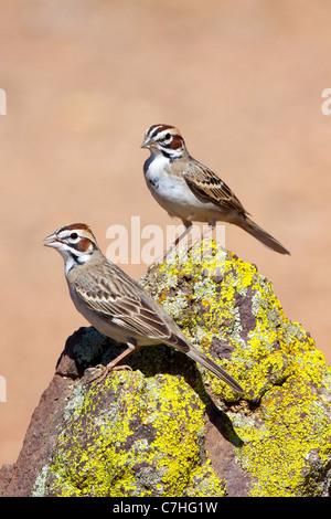 Lark Sparrow Chondestes grammacus Amado, Santa Cruz County, Arizona, United States 16 April Adult Emberizidae - Stock Photo