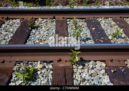 Plants growning in the tracks of the Alaska Railroad to Spencer Glacier, Chugach National Forest, Alaska. - Stock Photo
