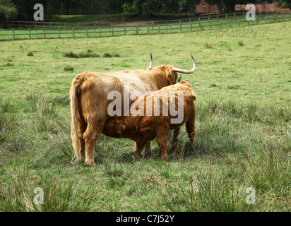 A Highland cow and her calf suckling in a field at Cholmondeley Castle Cheshire, England, UK - Stock Photo
