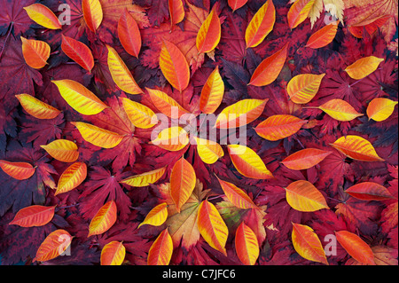 Autumn leaf pattern. Japanese Maple and various other leaves changing colour in autumn. - Stock Photo