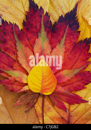 Acer and autumn leaf pattern. Japanese Maple and various other leaves changing colour in autumn. - Stock Photo