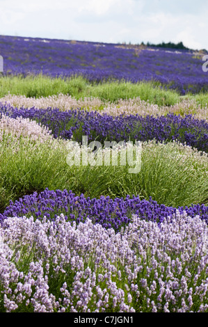 Field of mixed Lavenders, Lavandula angustifolia', at Snowshill Lavender Farm, Worcestershire, England, United Kingdom - Stock Photo