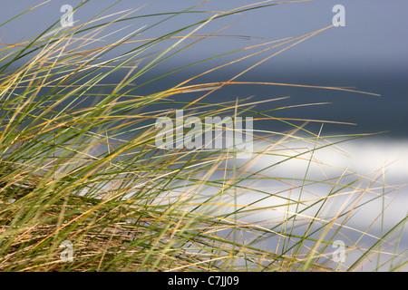 marram grass on sand dunes on beach county derry londonderry northern ireland uk - Stock Photo