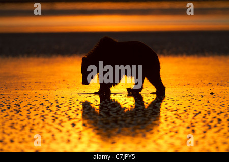 Brown / Grizzly Bear looking for clams at sunrise, Lake Clark National Park, Alaska. - Stock Photo