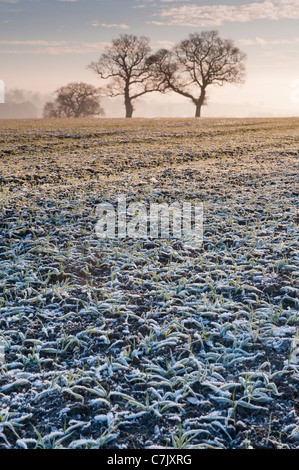 Two bare trees standing in a frost-covered field in the morning. - Stock Photo