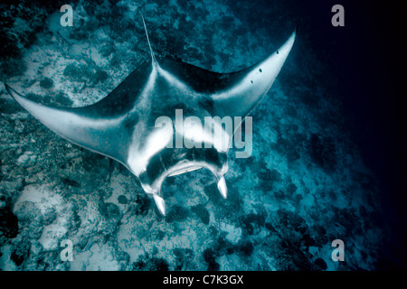 Manta ray swimming in coral - Stock Photo