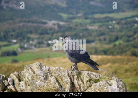 Jackdaw standing on a rock on top of Loughrigg Fell, Lake District, Cumbria - Stock Photo