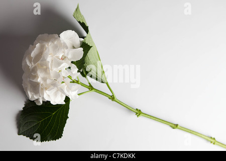 A single white Hydrangea against a grey background - Stock Photo