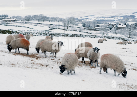 Sheep in the snow. - Stock Photo