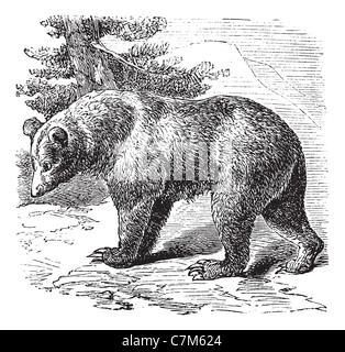 Cinnamon Bear (Ursus occidentalis), vintage engraved illustration.Trousset encyclopedia (1886 - 1891). - Stock Photo