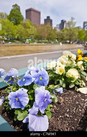 Petunia flowers at the Frog Pond in Boston Common, Boston, Massachusetts, USA - Stock Photo