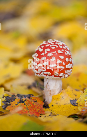 Amanita muscaria, Fly agaric mushroom growing amongst fallen golden leaves in a woodland.
