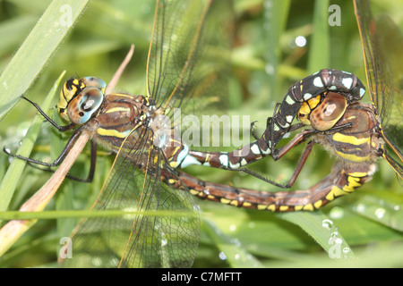 Mating Common Hawker Dragonflies (Aeshna juncea) - Stock Photo