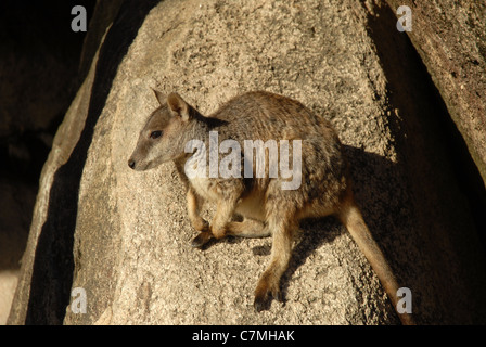 allied Rock wallaby (Petrogale assimilis), Geoffrey Bay, Magnetic Island, Townsville, Queensland, Australia - Stock Photo