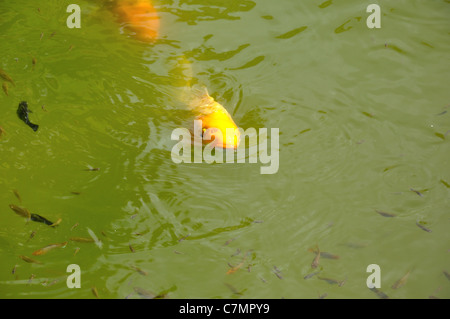Koi carp swimming on the surface of a pond - Stock Photo