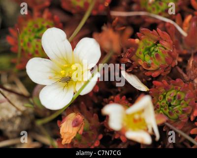 Irish Saxifrage, saxifraga rosacea - Stock Photo
