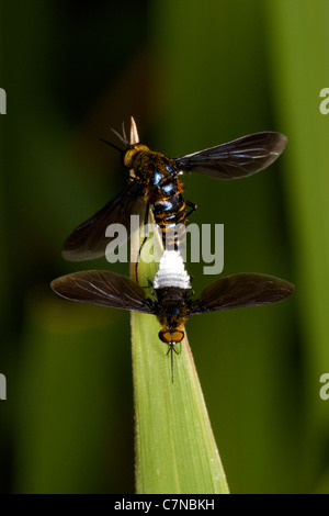 Bombyliidae or Bee flies mating in Huai Kha Kaeng Wildlife Sanctuary, Thailand. - Stock Photo