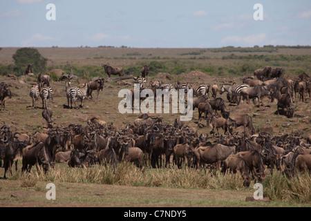 Wildebeest and Zebra before crossing the Mara River during the great migration, Masai Mara, Kenya, Africa - Stock Photo