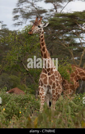 Endangered Rothschild Giraffe, Lake Nakuru National Park, Kenya, Africa - Stock Photo