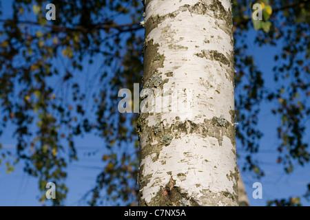Bark of a birch tree - Stock Photo