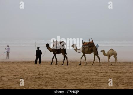 Camel train on beach in Essaouira, Morocco - Stock Photo
