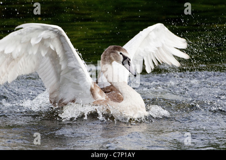 Juvenile Mute Swan Cygnus Olar 6 months old and bathing with beating wings - Stock Photo