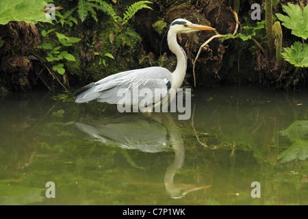 A Grey Heron (Latin: Ardea cinerea) stalks fish in County Cork, Rep of Ireland. - Stock Photo