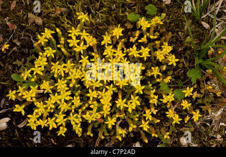 Biting Stonecrop, Sedum acre in flower; Breckland - Stock Photo