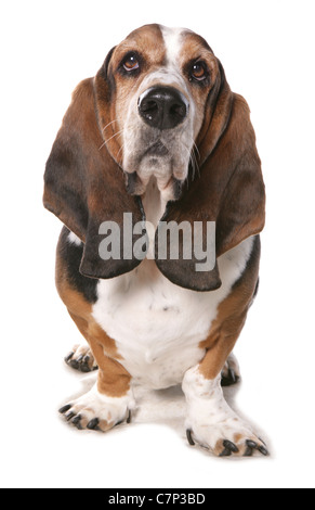 Bassett hound Single adult standing in a studio UK - Stock Photo