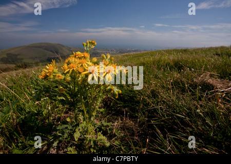 Common Ragwort, Senecio jacobaea on purbeck hills. Wide angle lens to show background. Dorset. - Stock Photo