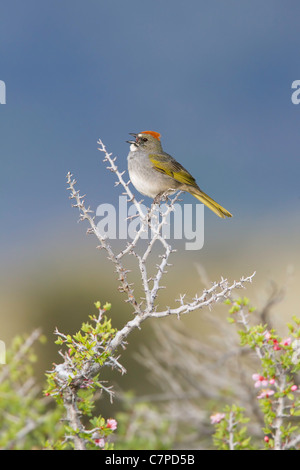 Green-tailed Towhee Pipilo chlorurus Mono Lake, California, United States 14 May Adult singing. Emberizidae Stock Photo
