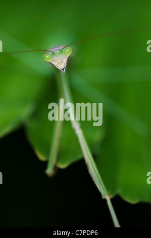 Praying mantis on a palm frond in India - Stock Photo