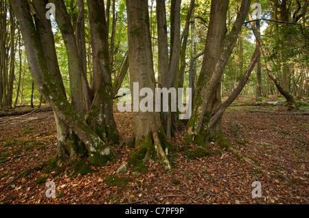 Ancient Small-leaved Lime coppice in Langley Wood NNR, Wilts - Stock Photo