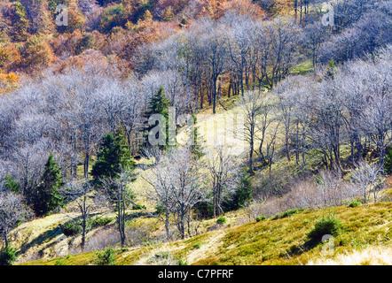 Autumn stark bare trees on forest edge (Carpathian mountains, Ukraine). - Stock Photo