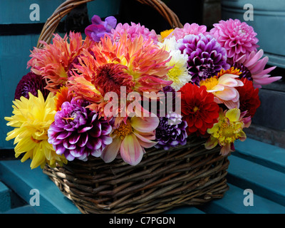 A basket of dahlias freshly picked from the allottment - Stock Photo