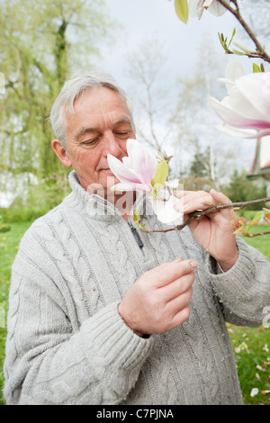Older man smelling magnolia on tree - Stock Photo
