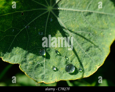 Drops of water on a nasturtium leaf - Stock Photo