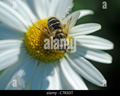 A hover fly sitting on a flower - Stock Photo